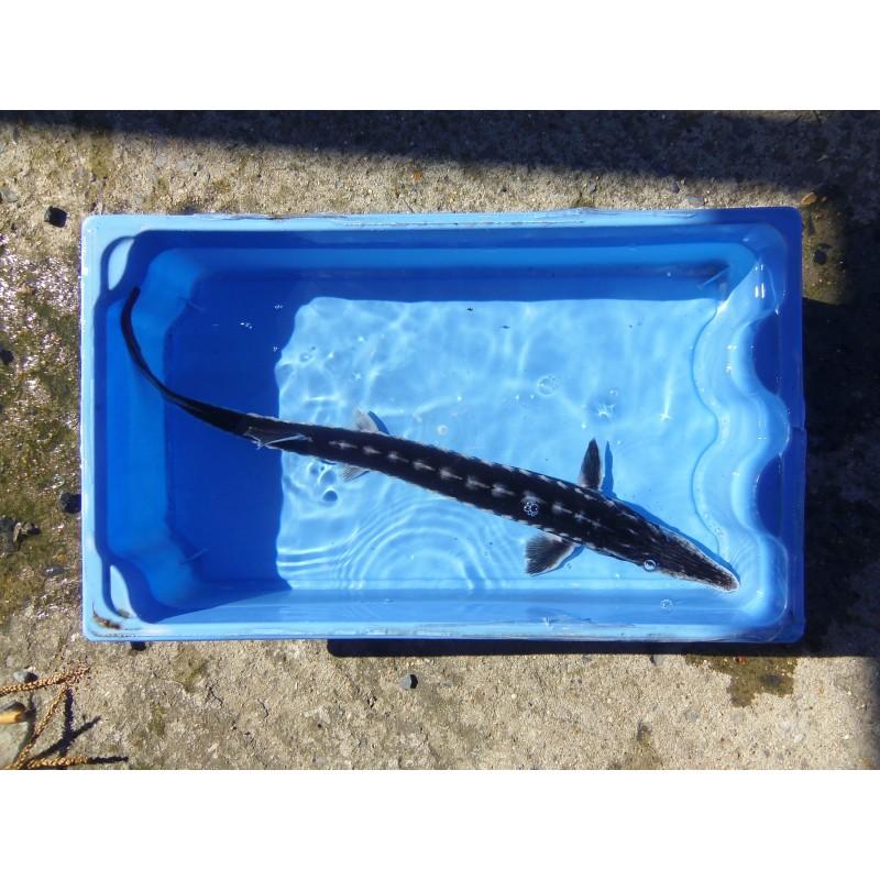 Esturgeon stellatus ou sevruga 40/50cm (lot de 2)