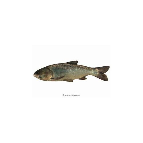 Carpe filtreuse (carpe amour argenté) 10/12cm
