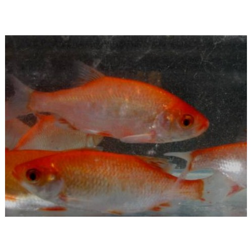 Rotengle rouge 7/10cm (lot de 10)