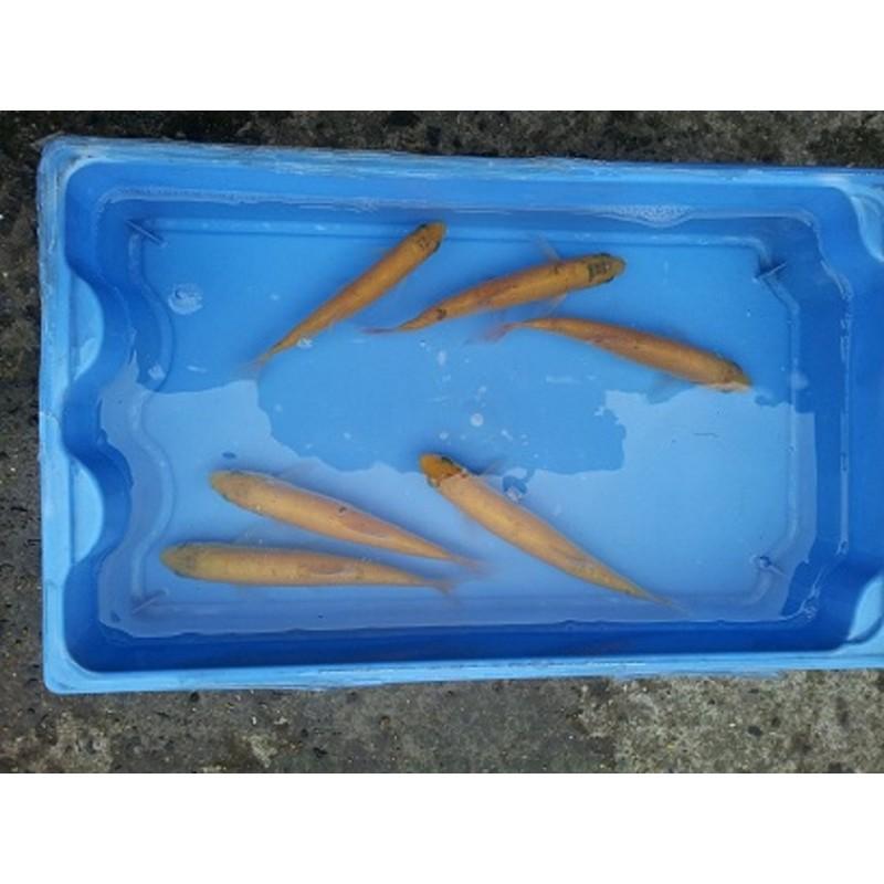 Ide mélanote orange 12/15cm (lot de 20)