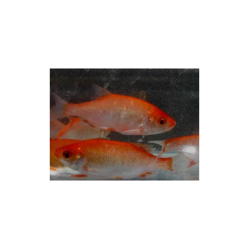 Rotengle rouge 10/12cm