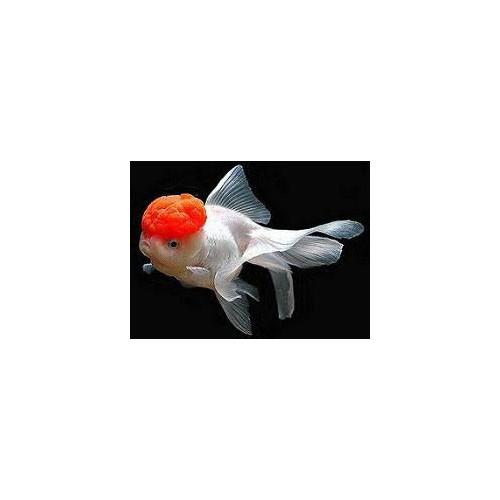 Oranda red cap 5/8cm