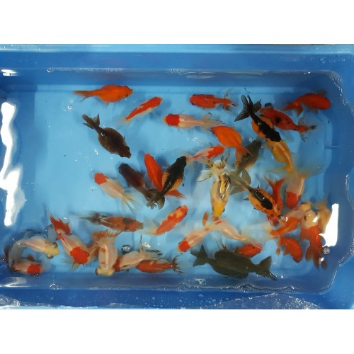 Fantail mix, télscope, ryukin, wakin, blackmoor, sabao.... 7/9cm (lot de 20)