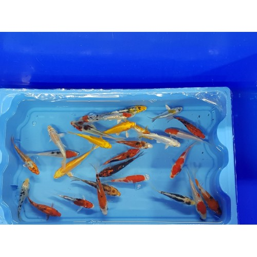 Carpe koi 9/12cm (lot de 40)