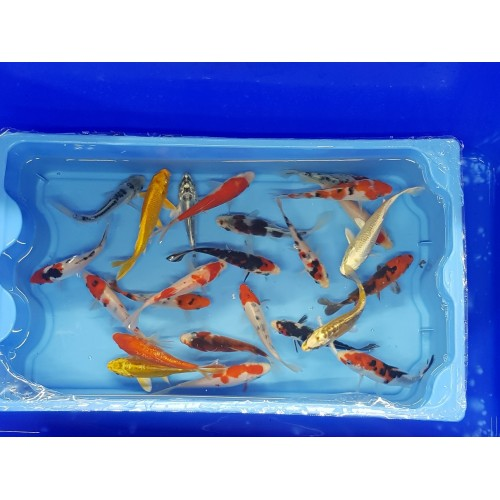 Carpe koi 12/15cm (lot de 20)
