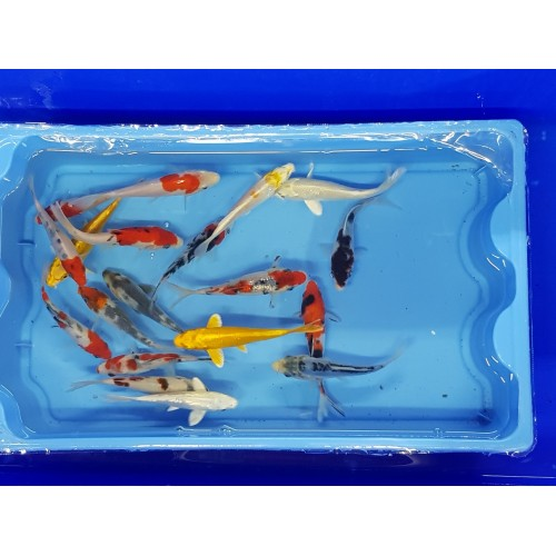 Carpe koi 12/15cm (lot de 5)