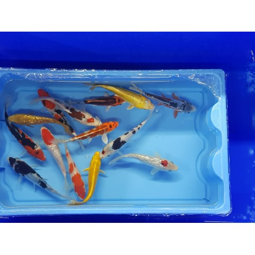 Carpe koi 14/16cm (lot de 10)