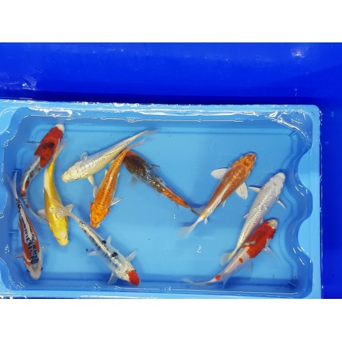 Carpe koi  18/21cm (lot de 10)