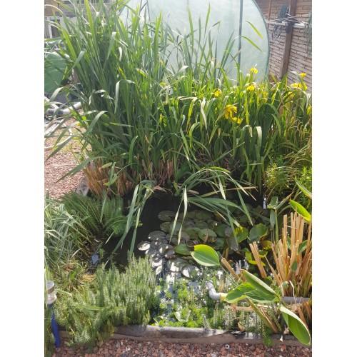 5 plantes diverses suivant disponibilité (iris, papyrus, thalia.........