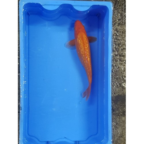 carpe koi sélect 23/30cm