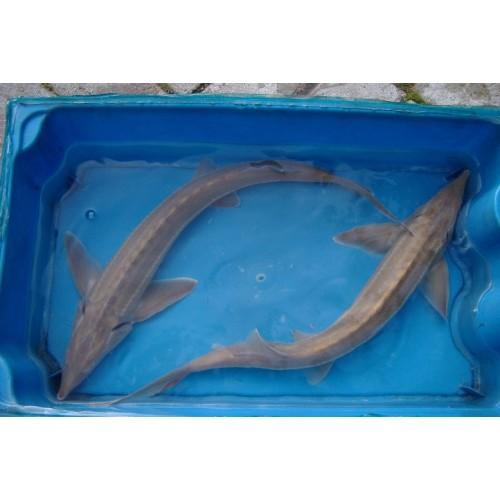 Esturgeon sterlet albinos 25/30cm (lot de 4)