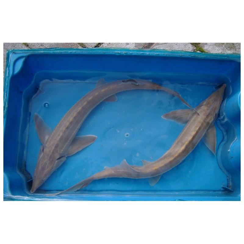 Esturgeon sterlet albinos 35/40cm