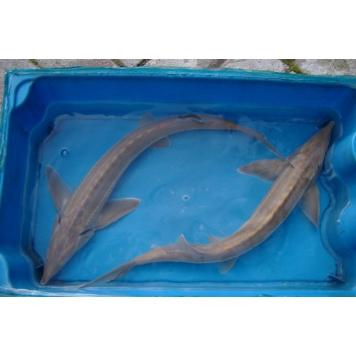 Esturgeon sterlet albinos 40/50cm