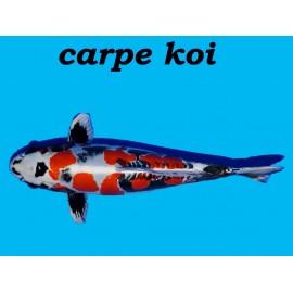 Carpe koi