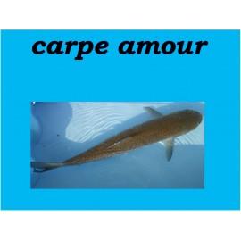 Carpe amour et Carpe amour albinos