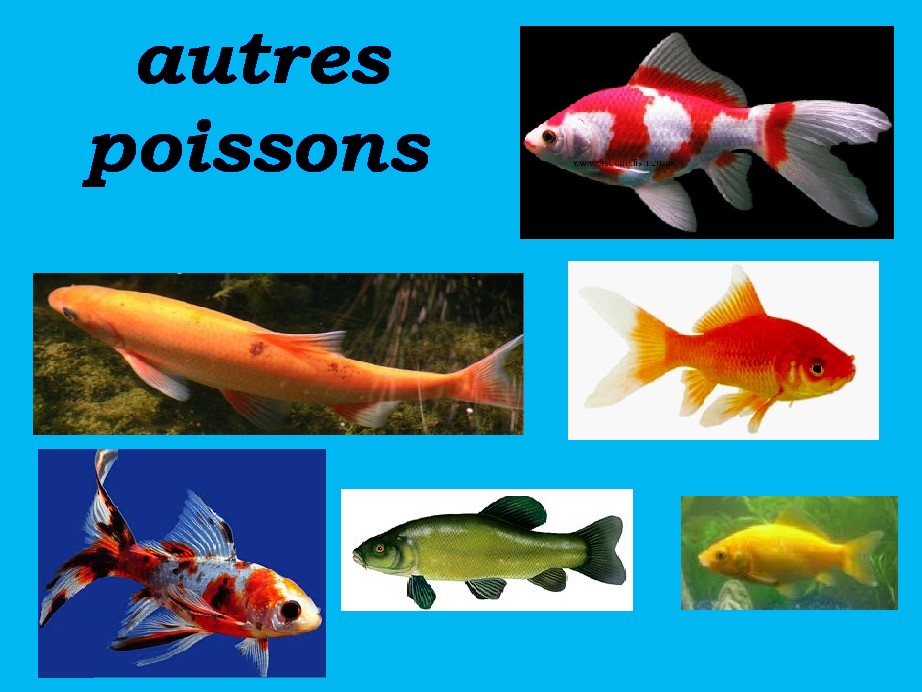 Carpe koi carpes koi carpe amour carpe amour blanc for Poisson koy